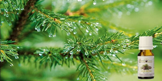 Olio essenziale di pino proprietà e usi.
